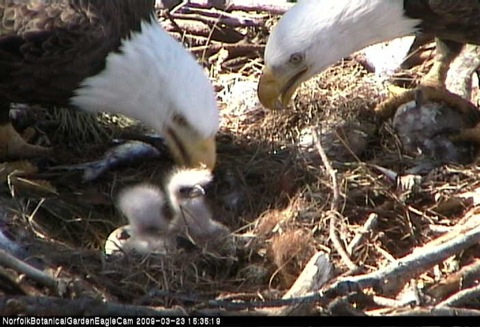 eaglets3rdegghatching